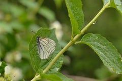 在一个湿分支的纹白蝶 免版税库存照片