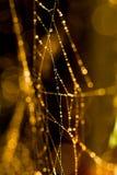 在一个湿和满地露水的网的一只蜘蛛 免版税库存图片