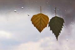 在一个湿窗口的秋叶在多雨天气背景  免版税库存照片