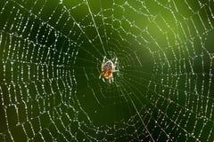 在一个湿网的蜘蛛 图库摄影