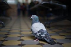 在一个火车站的一只鸽子在圣彼得堡 库存照片