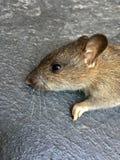 在一个灰色地板上的死的鼠 库存图片