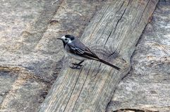 在一个灰色委员会的一只小的鸟地面的 库存照片