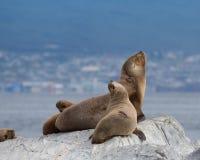 在一个灰色岩石的南美海狗 免版税库存图片