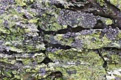 在一个灰色岩石的青苔 免版税库存图片