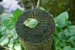 在一个灰色干燥树桩的一片绿色叶子 库存照片