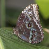 在一个热带植物栖息的蓝色Morpho 免版税库存图片