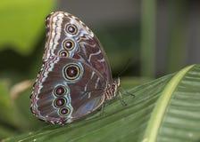 在一个热带植物栖息的蓝色Morpho 免版税库存照片