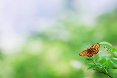 在一个热带植物的黑脉金斑蝶 免版税库存照片