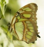 在一个热带植物的蝴蝶 库存照片