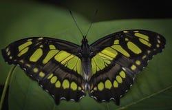 在一个热带植物的蝴蝶 免版税库存图片