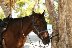 在一个热带海滩的马与白色沙子被栓在棕榈树下 库存照片
