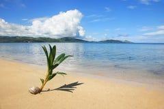 在一个热带海滩的棕榈树新芽, Nananu我镭海岛,斐济 免版税图库摄影