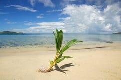 在一个热带海滩的棕榈树新芽, Nananu我镭海岛,斐济 图库摄影
