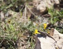 在一个热的岩石的沙漠蜥蜴 库存图片