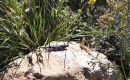 在一个热的岩石的沙漠蜥蜴 库存照片