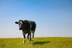 在一个牧场地的公牛在农村南英国英国 图库摄影