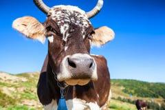 在一个牧场地的母牛喀尔巴阡山脉的 库存图片