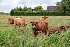 在一个牧场地的母牛在德国 免版税库存图片