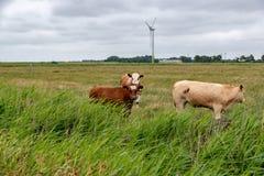 在一个牧场地的母牛在德国 库存照片