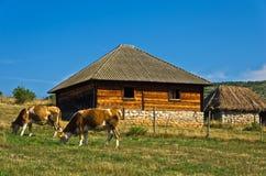 在一个牧场地的母牛在PeÅ ¡ ter高原的农村木房子前面 免版税库存照片