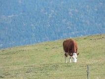 在一个牧场地的母牛山的 免版税库存图片