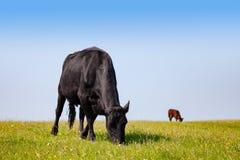在一个牧场地的牛在农村南英国英国 库存照片