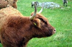 在一个牧场地的长角牛母牛在挪威 免版税库存图片