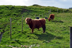 在一个牧场地的长角牛母牛在挪威 库存照片