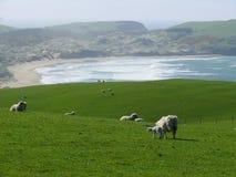 在一个牧场地的绵羊在新西兰 库存图片