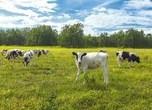 在一个牧场地的Calfs在堪察加的一个晴天 免版税库存图片
