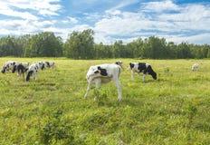 在一个牧场地的Calfs在堪察加的一个晴天 图库摄影