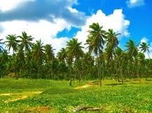在一个狂放的海滩的异乎寻常的高棕榈树反对天蓝色的加勒比海,大西洋多米尼加共和国,加勒比岛 图库摄影