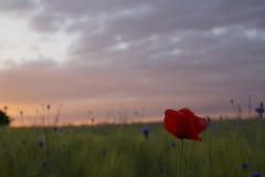在一个狂放的矢车菊草甸的孤独的鸦片在日落前面 免版税库存照片