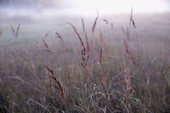在一个狂放的草甸的秋天干草反对落日的背景在有雾的天气关闭的,抽象秋天 库存图片