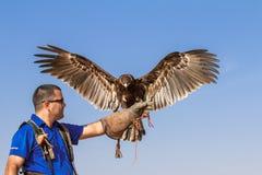 在一个猎鹰训练术飞行展示期间的公伟大的被察觉的老鹰在迪拜,阿拉伯联合酋长国 免版税图库摄影