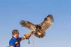 在一个猎鹰训练术飞行展示期间的公伟大的被察觉的老鹰在迪拜,阿拉伯联合酋长国 免版税库存图片