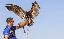 在一个猎鹰训练术飞行展示期间的公伟大的被察觉的老鹰在迪拜,阿拉伯联合酋长国 图库摄影