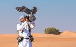 在一个猎鹰训练术飞行展示期间的公saker猎鹰在迪拜,阿拉伯联合酋长国 免版税库存图片