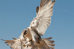 在一个猎鹰训练术飞行展示期间的公saker猎鹰在迪拜,阿拉伯联合酋长国 图库摄影