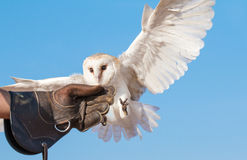 在一个猎鹰训练术飞行展示期间的幼小谷仓猫头鹰在迪拜,阿拉伯联合酋长国 库存照片