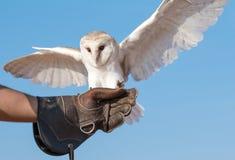 在一个猎鹰训练术飞行展示期间的幼小谷仓猫头鹰在迪拜,阿拉伯联合酋长国 图库摄影