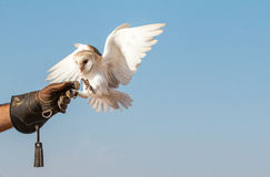 在一个猎鹰训练术飞行展示期间的幼小谷仓猫头鹰在迪拜,阿拉伯联合酋长国 免版税库存照片