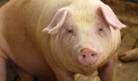 在一个猪圈的肥胖猪在农场 免版税图库摄影