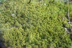 在一个玻璃容器的装饰和小青苔哺乳动物的 明亮绿色 春天 植物和植物学 自然 免版税库存照片