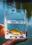在一个玻璃瓶子的小的鱼 免版税库存图片