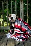 在一个甲板的Pitbull有红色,白色和黑毯子的 库存照片