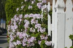 在一个白色尖桩篱栅的美丽的开花的苍白紫罗兰花 图库摄影