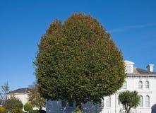 在一个白色房子前面的大圆的树 图库摄影