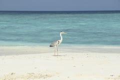 在一个白色沙滩的苍鹭 库存图片